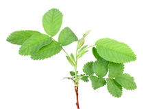 Branch with bud and green leaf Royalty Free Stock Images