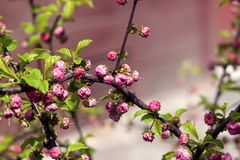Branch with budding pink buds Royalty Free Stock Photos