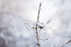 Branch with Buds in Ice Royalty Free Stock Images