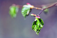 Branch with buds and leaves in spring Royalty Free Stock Images