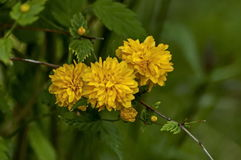 Branch  with bunch bloom and leaf of  yellow Kerria japonica at springtime in garden Stock Images