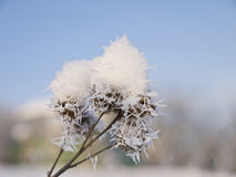 The branch of the burdock covered with soft snow. Royalty Free Stock Photos