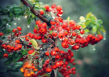 Branch of a bush with bright berries after freezing rain Stock Photography