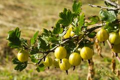 It is a branch of a bush of a gooseberry. It is a kitchen garden theme Stock Images