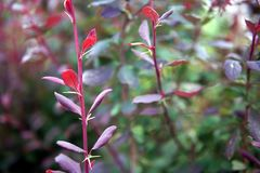 Bush with red leaves, close-up royalty free stock photography