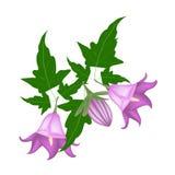 Branch of Campanula Rotundifolia Flower on White Background Royalty Free Stock Photo
