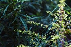Branch of cannabis and marijuana. Ganja, hemp beautiful tree. royalty free stock image