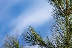 Branch of cedar on the right, against the background of the sky with space for text. Siberian cedar is a coniferous tree, the common species on the territory Royalty Free Stock Photos