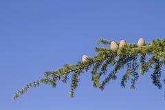 Branch of a cedar tree Royalty Free Stock Image