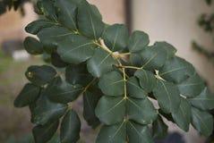 Branch of Ceratonia siliqua tree stock photo