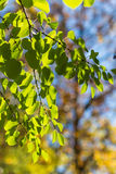 Branch of Cercidiphyllum japonicum Royalty Free Stock Photography