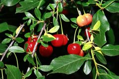 Branch of cerise cherry Royalty Free Stock Photo
