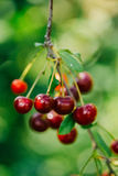 The branch of cherries with berries and leaves Stock Photo