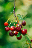 The branch of cherries with berries and leaves Royalty Free Stock Photos
