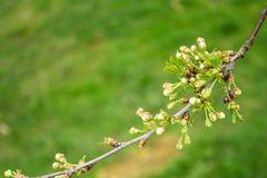 Branch of cherries on a green background. The first days of spring. Flowers appear and begin to flourish stock photos