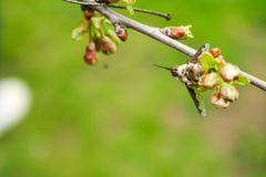 Branch of cherries on a green background. The first days of spring. Flowers appear and begin to flourish royalty free stock images