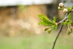 Branch of cherries on a green background. The first days of spring. Flowers appear and begin to flourish royalty free stock photo