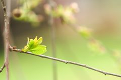 Branch of cherries on a green background. The first days of spring. Flowers appear and begin to flourish royalty free stock image