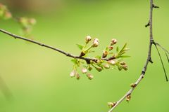 Branch of cherries on a green background. The first days of spring. Flowers appear and begin to flourish stock images
