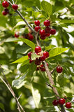 A branch of cherries. Branch of cherries and green leafs stock image