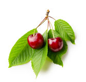 Branch of cherries with leaves Stock Photos