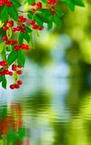 Branch with cherries Stock Image