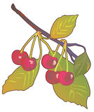 Branch with cherries. Branch with red ripe cherries Royalty Free Stock Photo