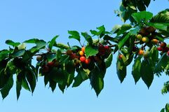 Branch with cherries Royalty Free Stock Images