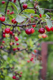 Branch with cherries. Sweet cherries are the ones most often found in markets. They have a thick, rich, and almost plumb-like texture stock photo