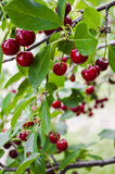 Branch with cherries. Sweet cherries are the ones most often found in markets. They have a thick, rich, and almost plumb-like texture royalty free stock photos
