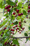 Branch with cherries. Sweet cherries are the ones most often found in markets. They have a thick, rich, and almost plumb-like texture stock photography