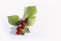 Branch cherry Stock Photography