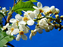 A branch of the cherry. The branch of a bird cherry blossomed in a garden Royalty Free Stock Photos
