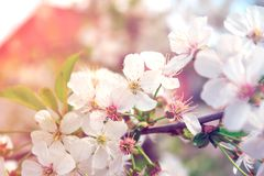 Branch of cherry or apple blossoms. Spring flowers on a tree in the garden stock photo