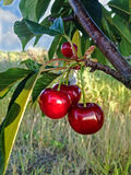 Branch of cherry on a background of grass. Branch of ripe juicy red cherry on a background of grass and sky royalty free stock image