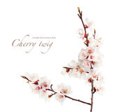 Branch of cherry in bloom Royalty Free Stock Image