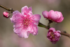 Branch of cherry blossom Stock Photography