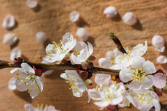 Branch of cherry blossom flowers on wooden cracked background with unfocused petals Stock Photos