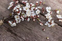 A branch of a cherry blossom lies on a wooden texture table. Textured wooden background on which lies a flowering branch of apricots Royalty Free Stock Photos