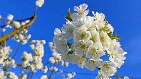 Branch of cherry blossom tree in full bloom against a bright blue sky royalty free stock image