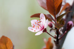 Branch of a cherry blossom tree, pink flower Royalty Free Stock Photos