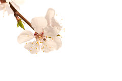 Branch of a cherry blossom tree, pink flower Royalty Free Stock Image