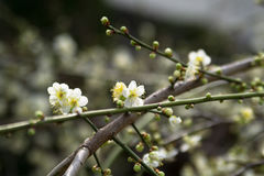 Branch of Cherry blossom. Branch of white Cherry blossom with blur background stock photo