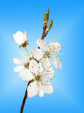 Branch of cherry blossoms Stock Image