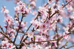 Branch with cherry blossoms Royalty Free Stock Photography