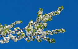 Branch of cherry blossoms Stock Images