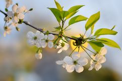Branch of the cherry blossoms Royalty Free Stock Photos