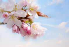 Branch of cherry blossoms Royalty Free Stock Images