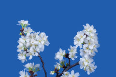 A branch of the cherry blossoms Stock Photo