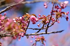 Branch of cherry blossoms Royalty Free Stock Photography